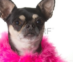 13946999-cute-chihuahua-dressed-in-pink-feathered-boa